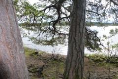 Lugnetåsen-gamla-tallar-3