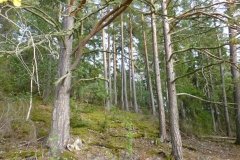 Lugnetåsen-gamla-tallar